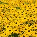 Black Eyed Susans by lifeat60degrees