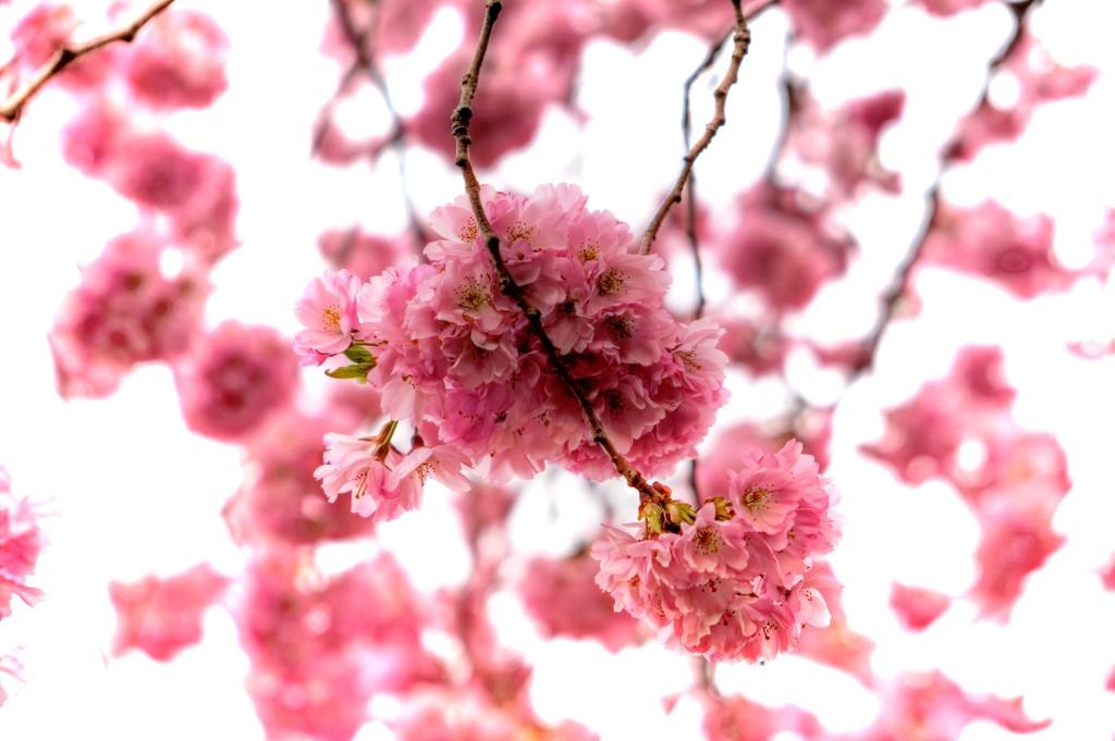 Spring blossom by maggiemae
