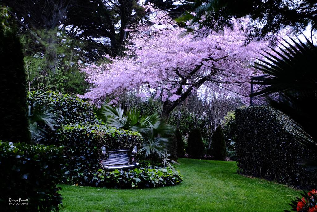 Awanui flowering cherry by dkbarnett