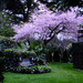 Awanui flowering cherry by dkbarnett