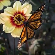 17th Sep 2017 - Sunlit Monarch