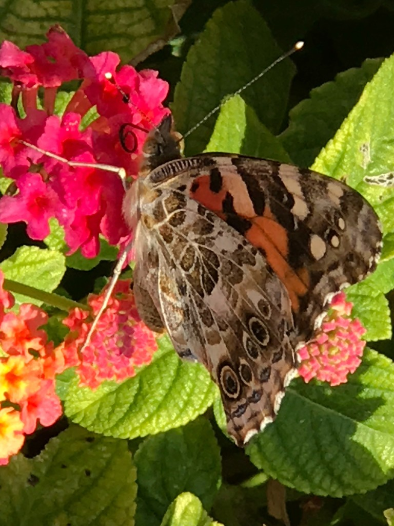 """""""I heard you wanted a butterfly to visit your Lantana. Well here I am! Wait, you want me to open my wings too?!"""" by louannwarren"""