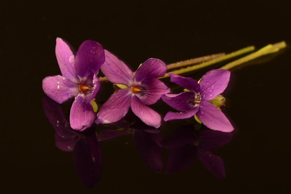 Violets...._DSC6221 by merrelyn