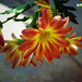 Striped Chrysanthemums
