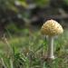 Yellow Mushroom by loweygrace