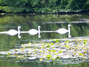 18th Sep 2017 - Swans on the lake at Berrington parkland...