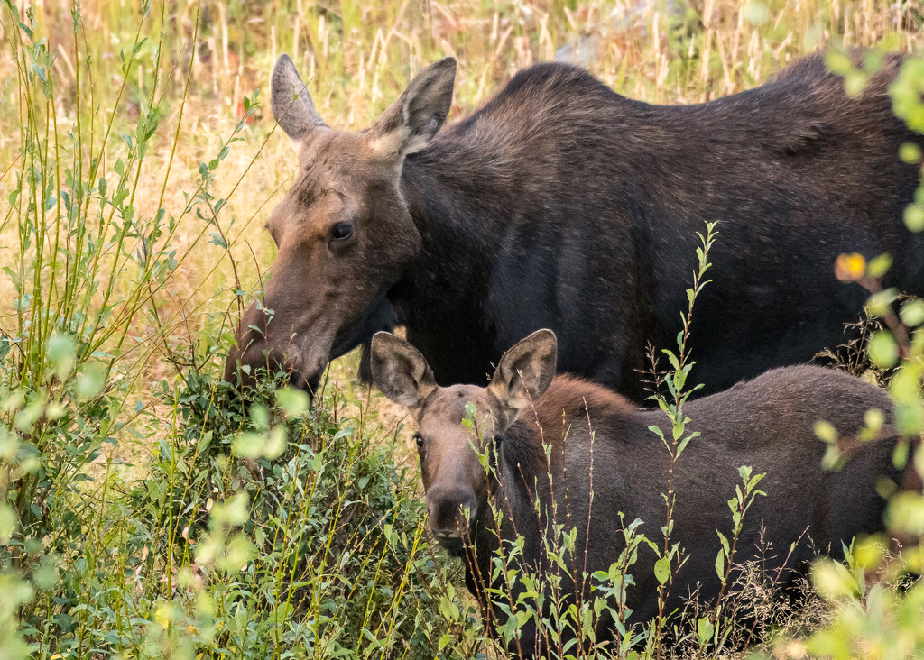 Momma moose and her little one by dridsdale