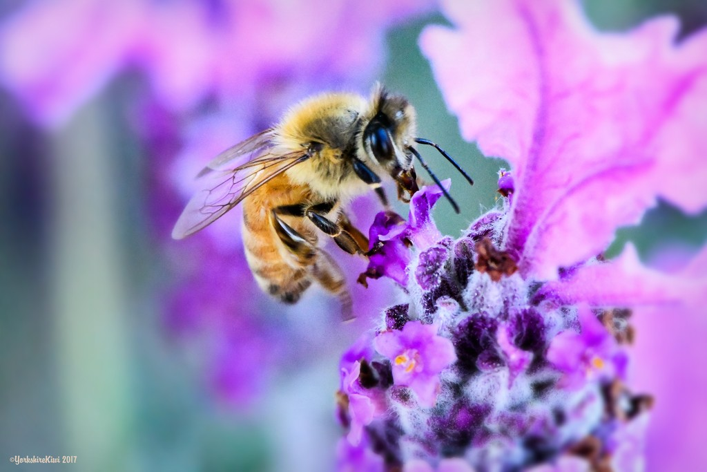 Busy Bee by yorkshirekiwi