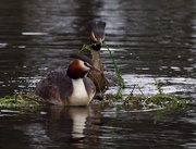 19th Sep 2017 - Australasian crested grebes making a nest together