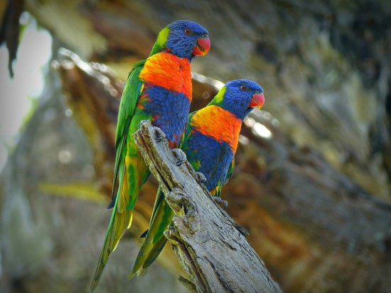 Rainbow Lorikeets by judithdeacon