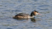 19th Sep 2017 - GREAT CRESTED GREBE