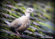 19th Sep 2017 - Collared dove