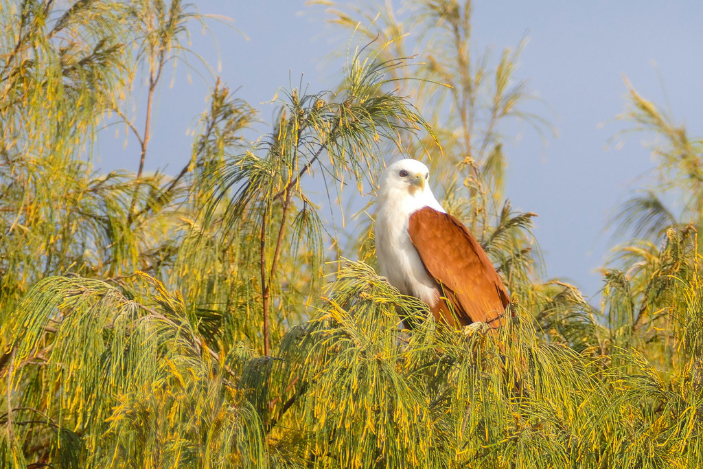 Brahminy Kite in the Casuarina trees by hrs