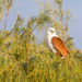 Brahminy Kite in the Casuarina trees