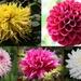 Dahlia flowers by pyrrhula