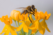 20th Sep 2017 - To Bee, or Not to Bee....now That is the Question!