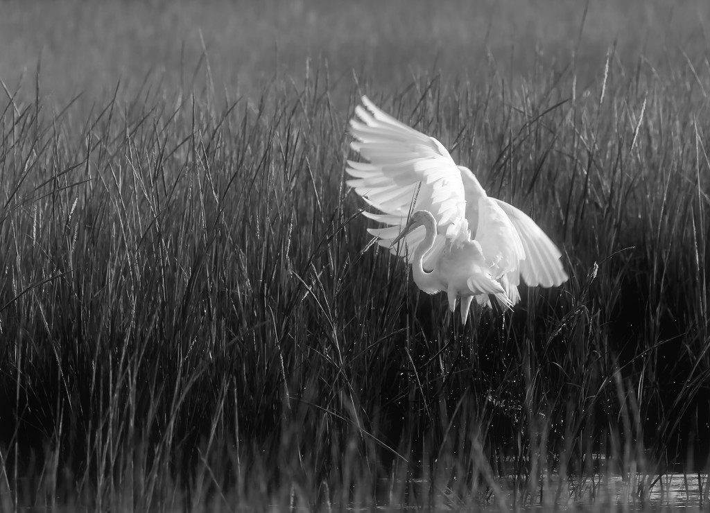 Egrets at Chincoteague by shesnapped
