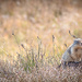 Camo Marmot