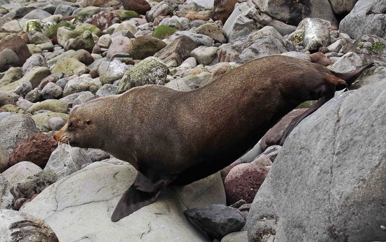 NZ seal heading for the sea by maureenpp