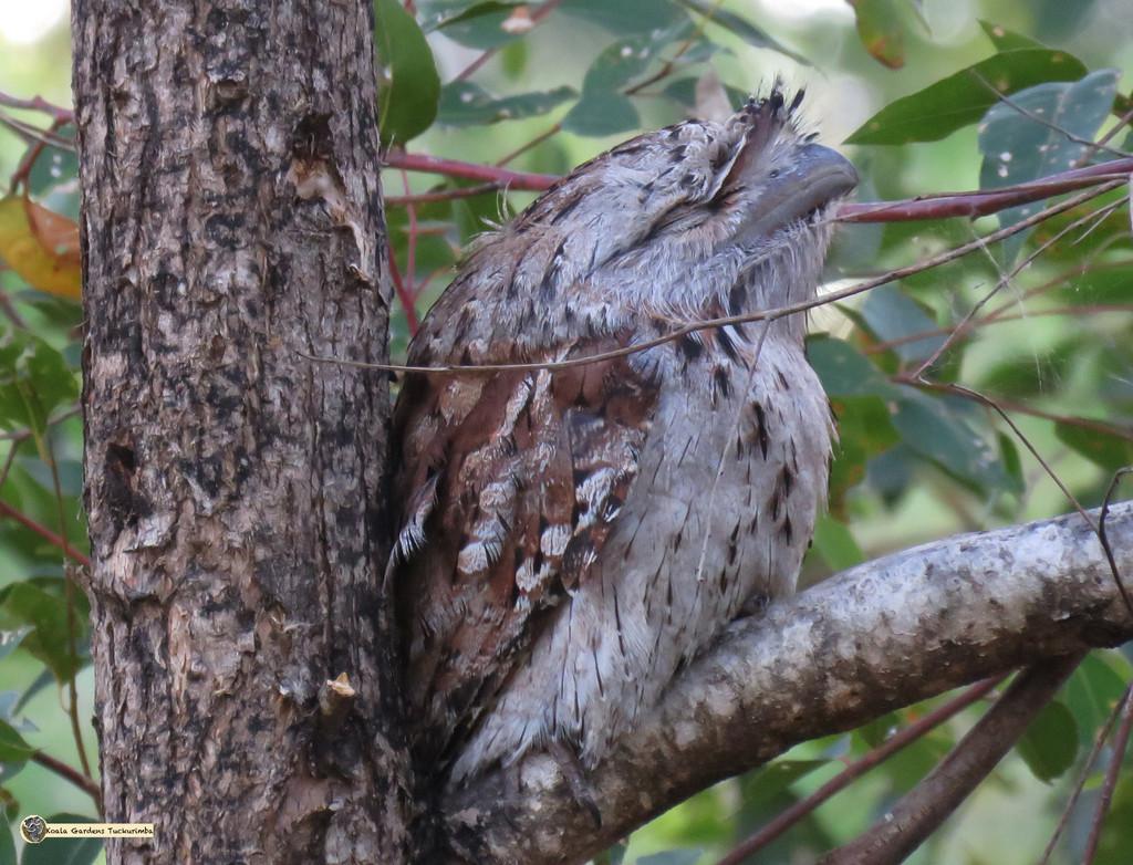napping tawny by koalagardens