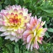 Yellow and pink dahlia. by cocobella