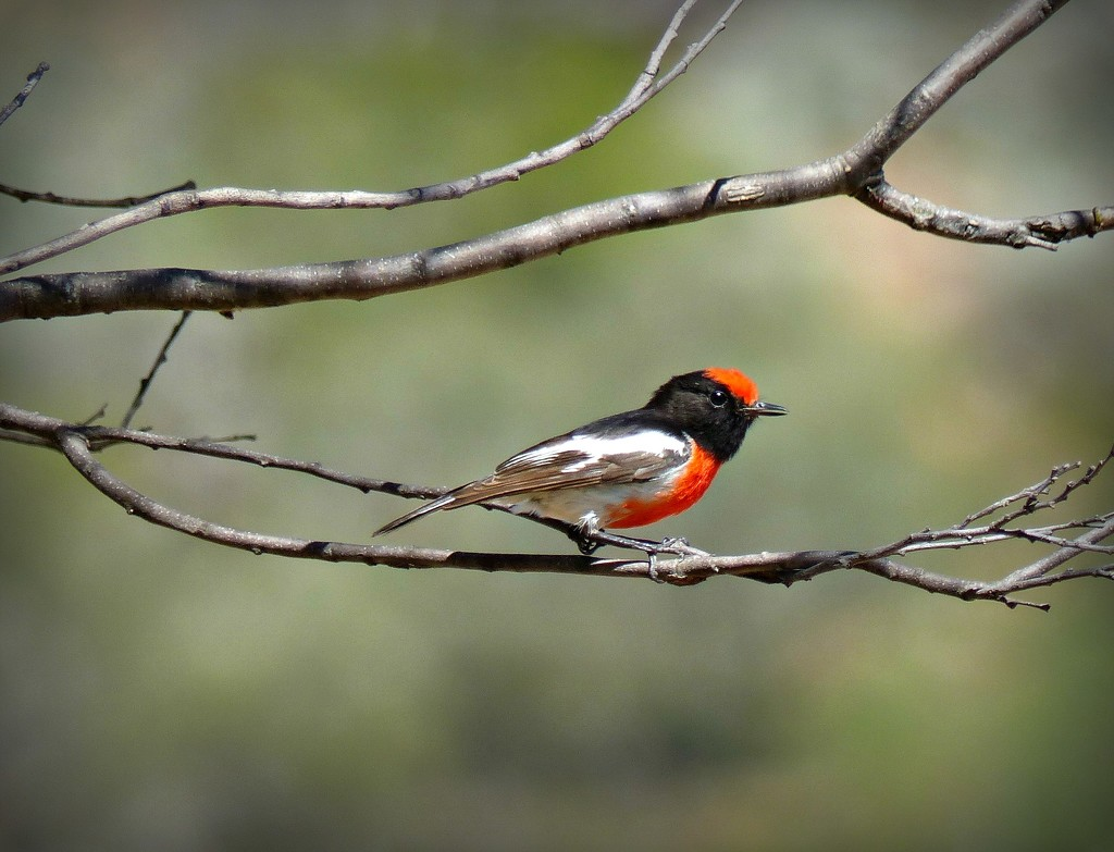 Red capped robin by judithdeacon