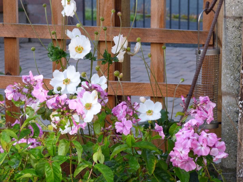 Phlox and anemones  by beryl