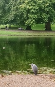 18th Sep 2017 - Heron in St James's Park