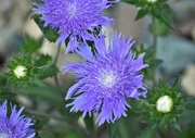 13th Sep 2017 - Fringed flower