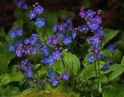 21st Sep 2017 - Forget-me-not