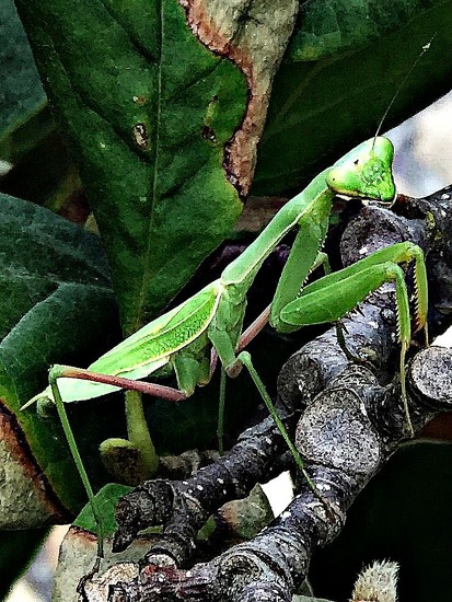 Praying Mantis by gardenfolk