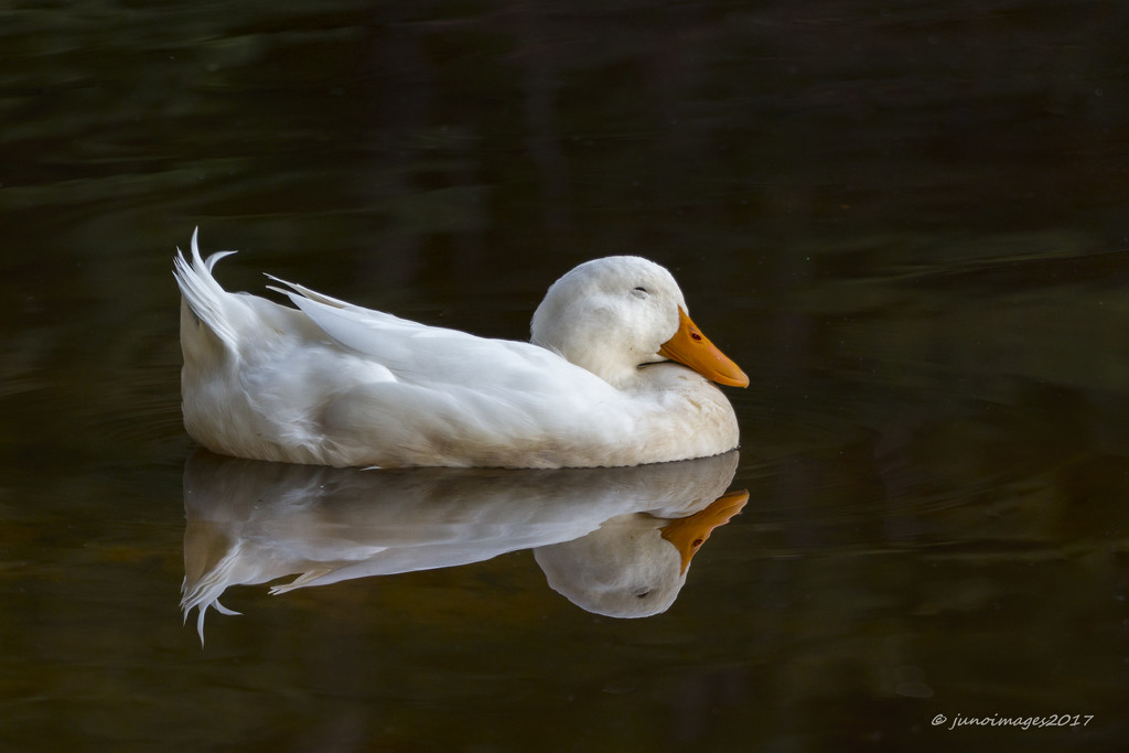 Two . . Two . . .Two Ducks in One by jnorthington