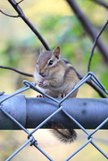 21st Sep 2017 - Chipmunk!