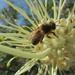 Bee feeding on spider flower sweet nectar