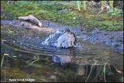 22nd Sep 2017 - Bathing sparrowhawk