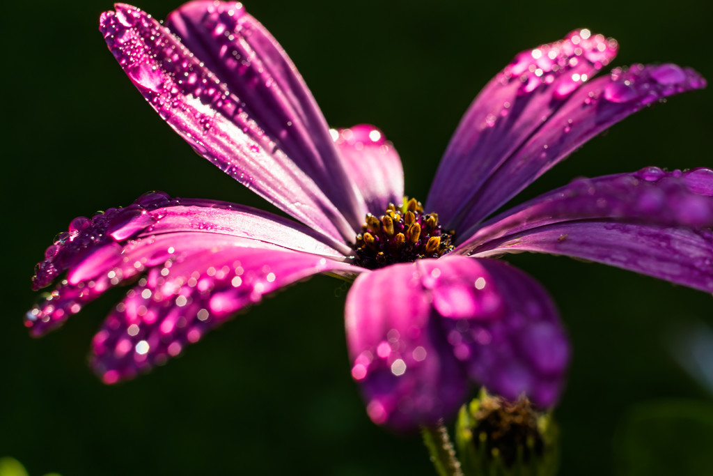 Sparkling Chrysanthemum  by rjb71