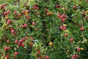 23rd Sep 2017 - Don't sit under the apple tree...