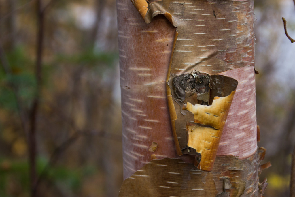 Birch Bark by jetr