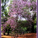 Bauhina tree in all its glory by 777margo
