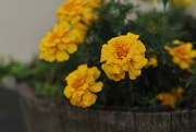 23rd Sep 2017 - Fall Marigolds