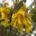 Kowhai flowers opened by Dawn