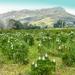 A Protea field.....