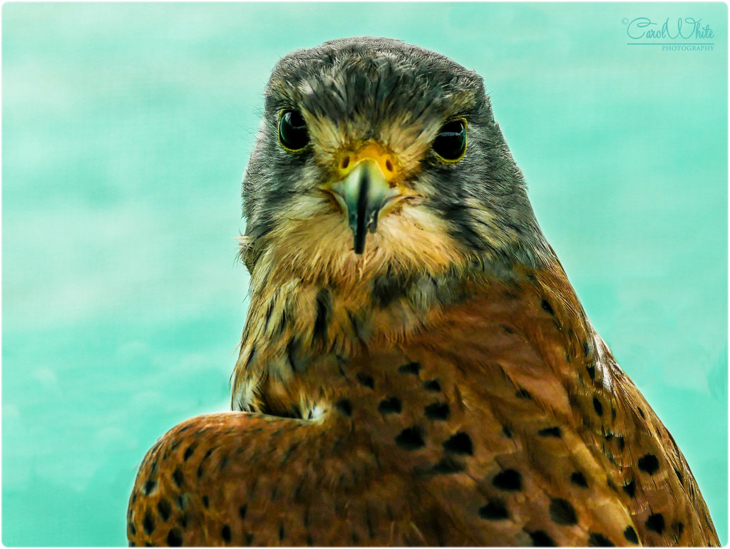 Common Kestrel by carolmw