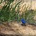 Depot Hill Reserve Blue Wren