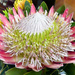 A King Protea........ by ludwigsdiana