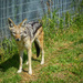 A Black-backed jackal.........