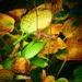 Autumnal Hostas by carole_sandford