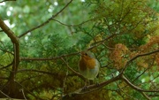 25th Sep 2017 - Robin in a tree....