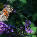 Butterfly Bush Almost Gone by milaniet