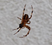 25th Sep 2017 - Spider